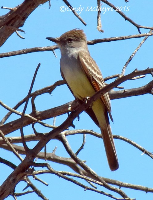 Brown-crested-flycatcher-maybe,-Mojave-Natl-Preserve-CA-copy