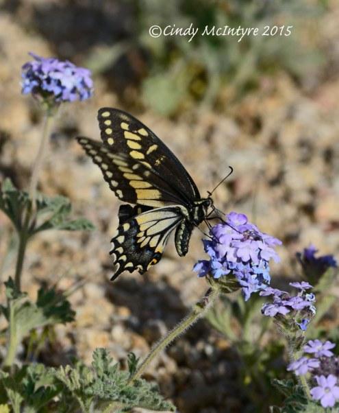 Desert Swallowtail on Goodding's Verbena