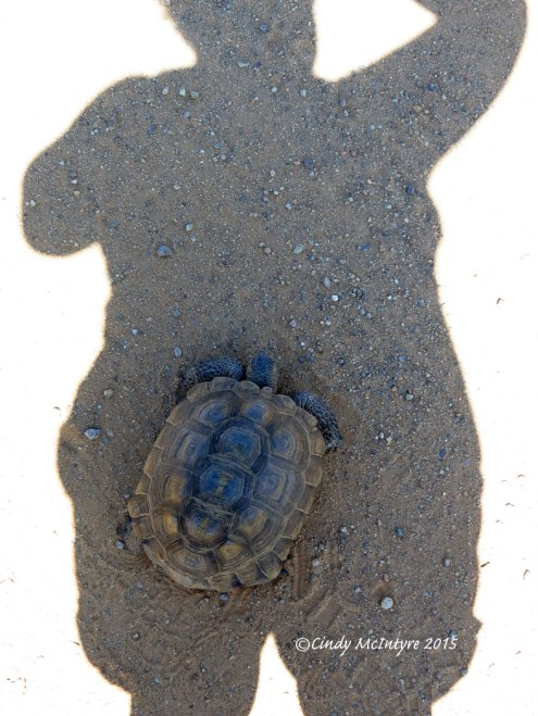 Desert-Tortoise,-Gopherus-agassazii,-Barstow-CA-(23)-copy