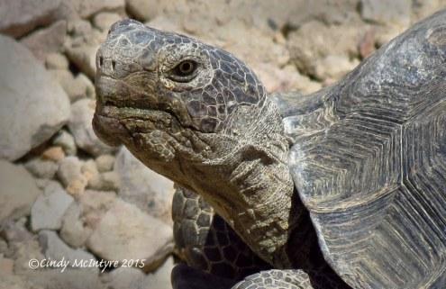 Desert-Tortoise-large,-Gopherus-agassazii,-Barstow-CA-(19)-copy
