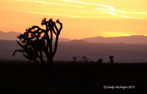Joshua-Trees-at-sunset,-Rainbow-Basin-Natural-Area,-Barstow-CA-(3)-copy