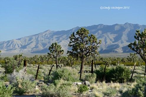 Mojave-Natl-Preserve,-Cima-Rd,-CA-(6)-copy