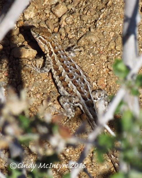 Side-blotched lizard female