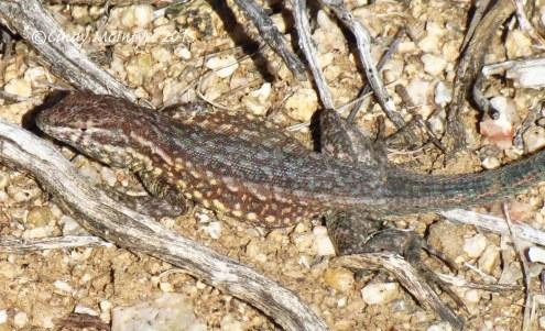 Side-blotched lizard male