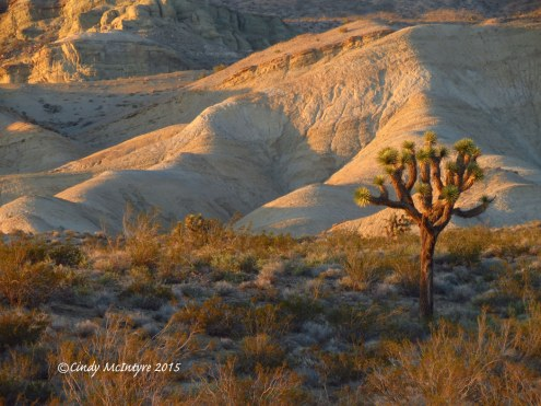 Sunset,-Joshua-Trees,-Rainbow-Basin-Natural-Area,-Barstow-CA-(14)-copy