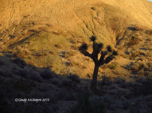 Sunset,-Joshua-Trees,-Rainbow-Basin-Natural-Area,-Barstow-CA-(2)-copy