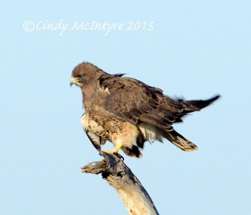 Swainson's Hawk, dark form