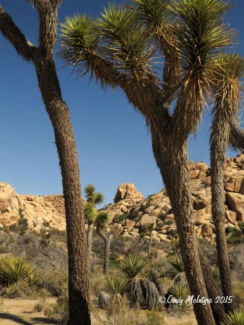 Barker-Dam-Trail,-Joshua-Tree-NP-CA-(20)-copy