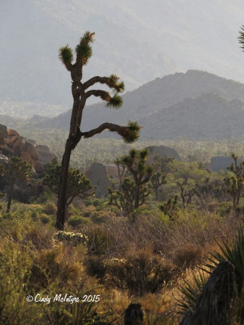 Barker-Dam-Trail,-Joshua-Tree-NP-CA-(5)-copy