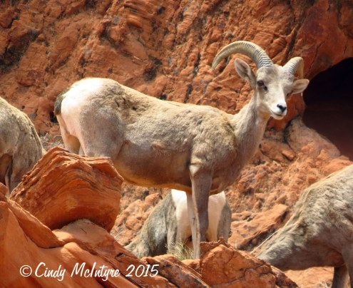 Bighorn-sheep,-Valley-of-Fire-St-Pk,-NV-(19)-copy