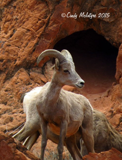Bighorn-sheep,-Valley-of-Fire-St-Pk,-NV-(26)-copy