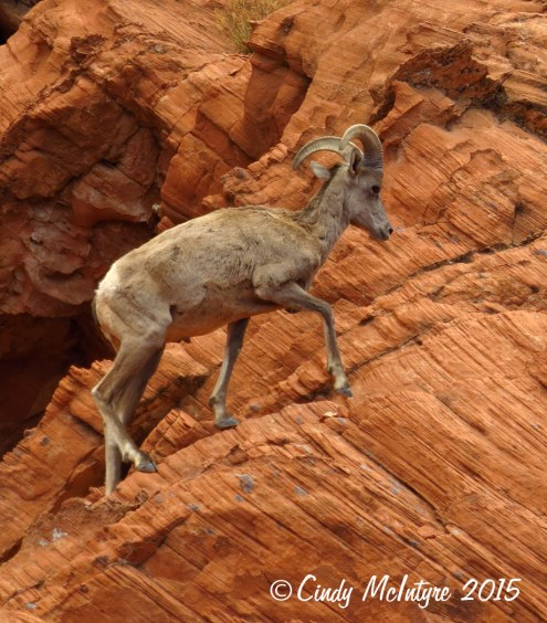 Bighorn-sheep,-Valley-of-Fire-St-Pk,-NV-(31)-copy-2