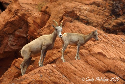 Bighorn-sheep,-Valley-of-Fire-St-Pk,-NV-(34)-copy-2