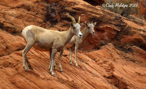 Bighorn-sheep,-Valley-of-Fire-St-Pk,-NV-(36)-copy-2