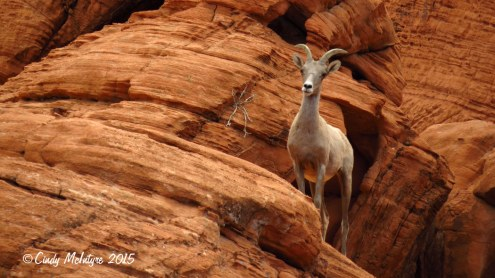 Bighorn-sheep,-Valley-of-Fire-St-Pk,-NV-(40)-copy-2
