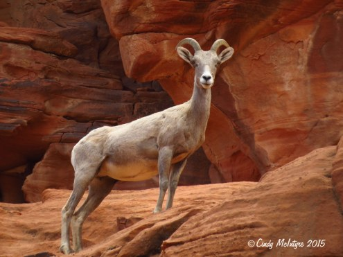 Bighorn-sheep,-Valley-of-Fire-St-Pk,-NV-(44)-copy-2