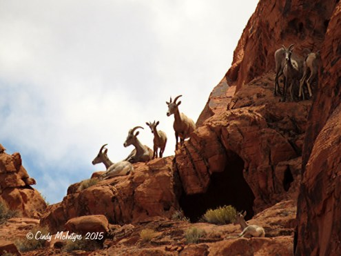 Bighorn-sheep,-Valley-of-Fire-St-Pk,-NV-(58)-copy