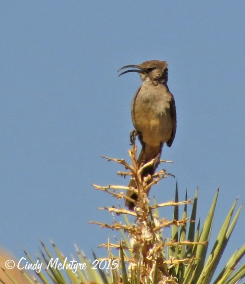 California thrasher male