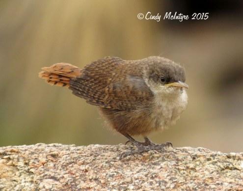 Canyon-Wren-fledgling,-Joshua-Tree-NP-CA-(10)-copy-2