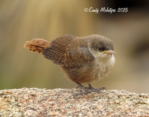 Canyon-Wren-fledgling,-Joshua-Tree-NP-CA-(10)-copy-2