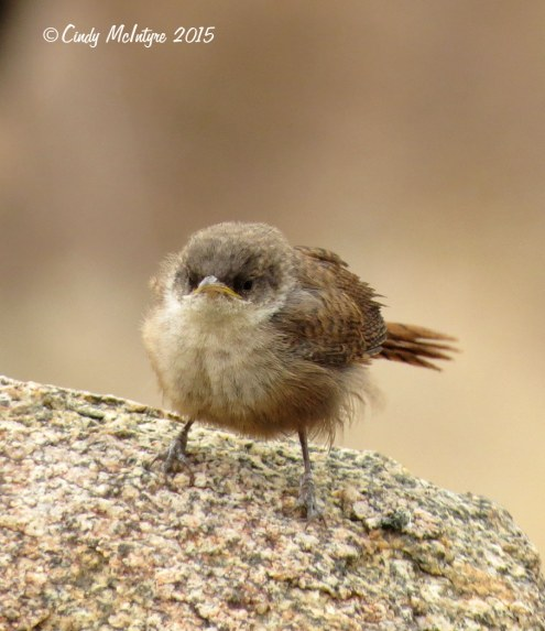 Canyon wren fledgling looking grouchy