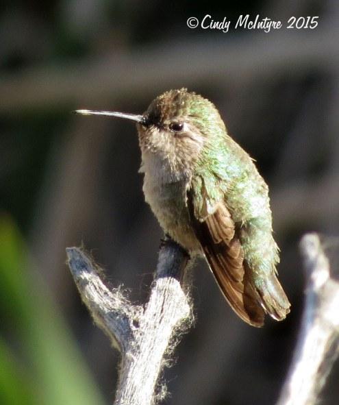 Hummingbird-female,-Joshua-Tree-NP-(1)-copy-2