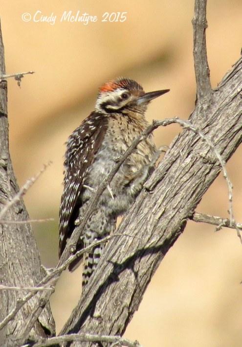 Ladderback-woodpecker,-Joshua-Tree-NP-(1)-copy-2