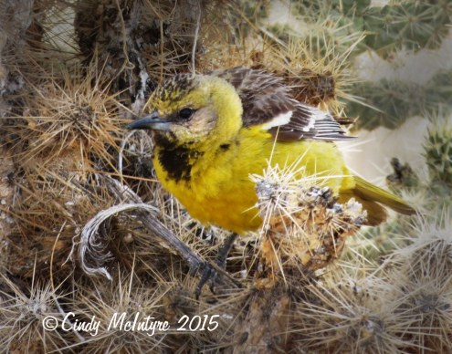 Oriole---hooded-or-Scott's,-Joshua-Tree-NP-(2)-copy