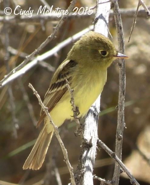 Pacific-slope-flycatcher,-Joshua-Tree-NP-(4)-copy