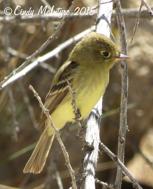 Pacific-slope-flycatcher,-Joshua-Tree-NP-(4)-copy