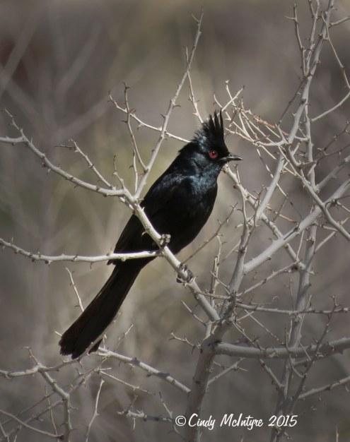 Phainopepla male