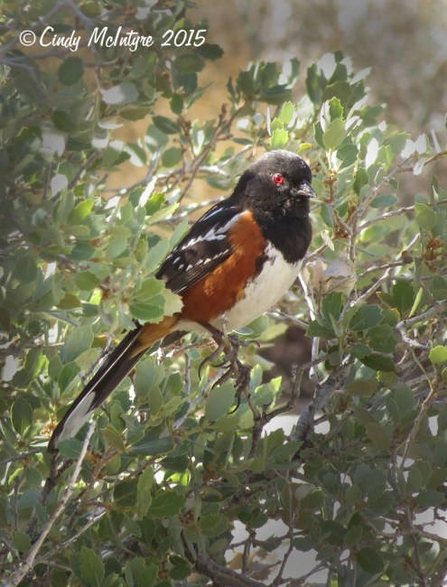 Spotted towhee male