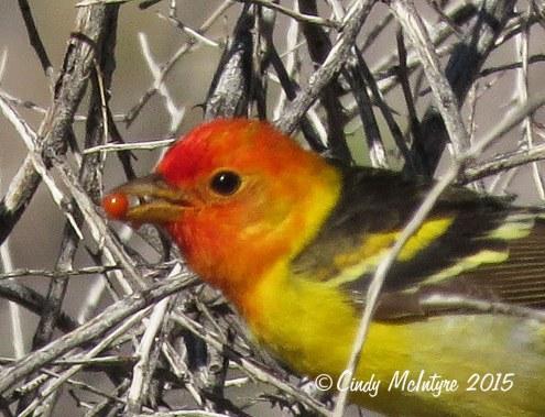 Western-tanager-male,-Joshua-Tree-NP-(2)-copy-2