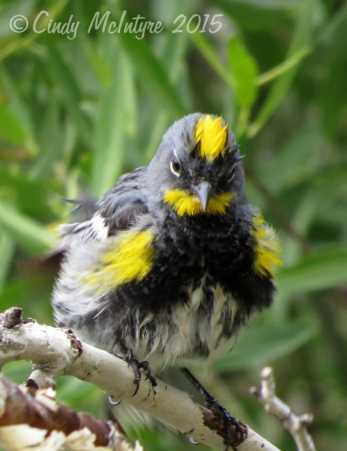 Audubon's yellow-rumped warbler after a bath