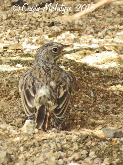 Juvenile Bell's sparrow