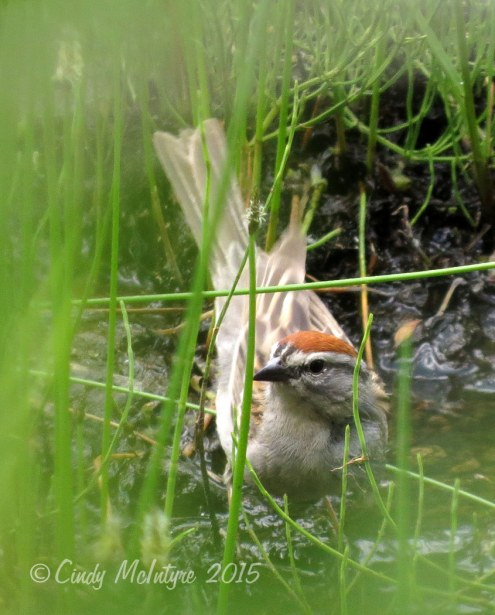 Chipping sparrow at watering hole
