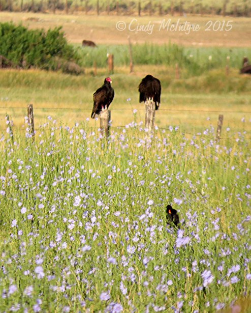 Red-wing blackbird and turkey vultures in a field of chicory.