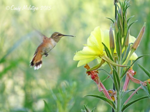 Rufous hummingbird female or juve