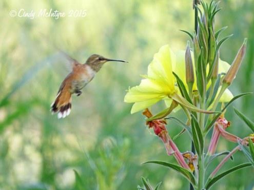 Rufous hummingbird female or juve