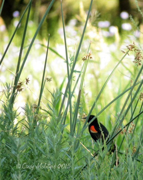 Red-wing blackbird in rushes