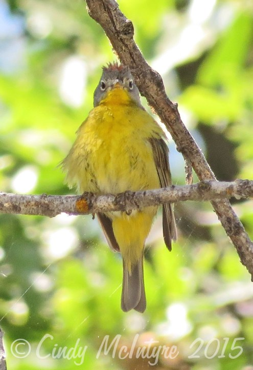 Nashville warbler with rusty top fluffed up