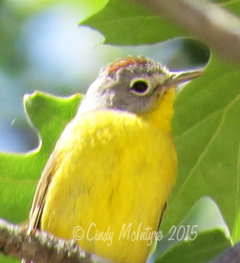 Nashville Warbler with rusty top