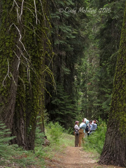 Birders in the cathedral of evergreens in the Eastern Sierras