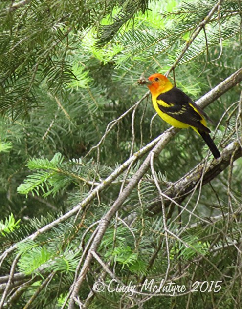 Western tanager male, with bugs for his babies