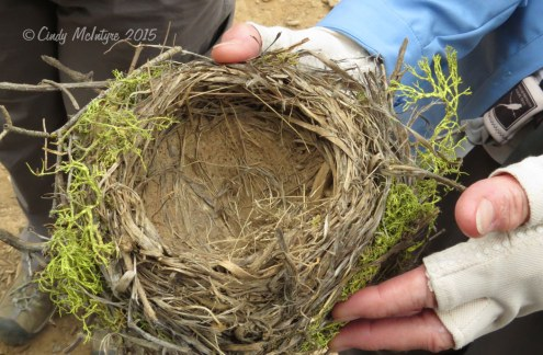 Robin's nest decorated with lichen