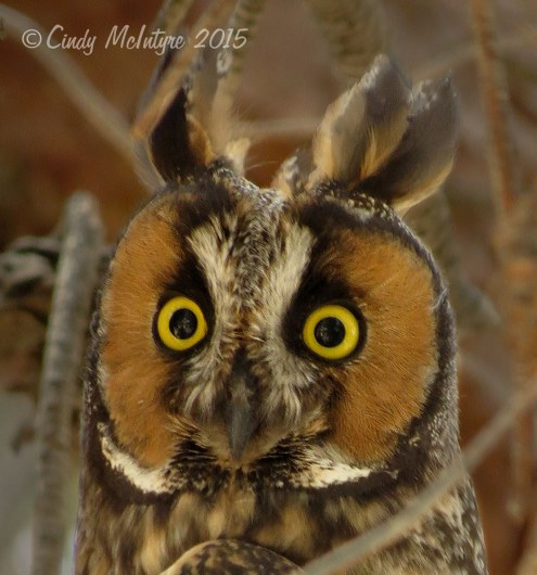 Long-eared owl showing off its long ears
