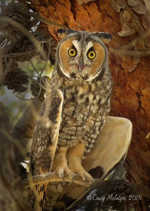 Long-eared owls with