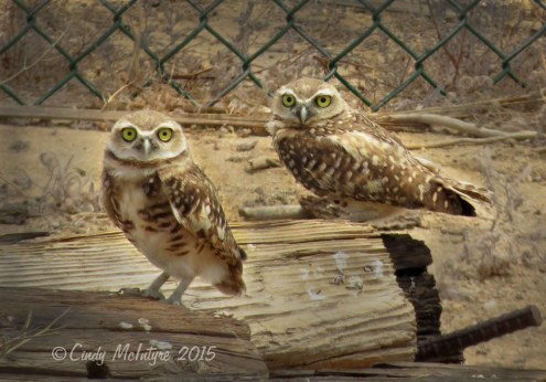 Burrowing owls, Ridgecrest