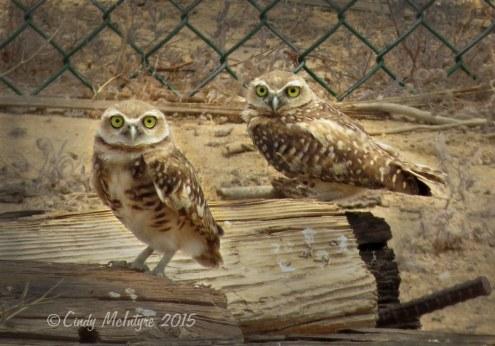 Burrowing owls, Ridgecrest