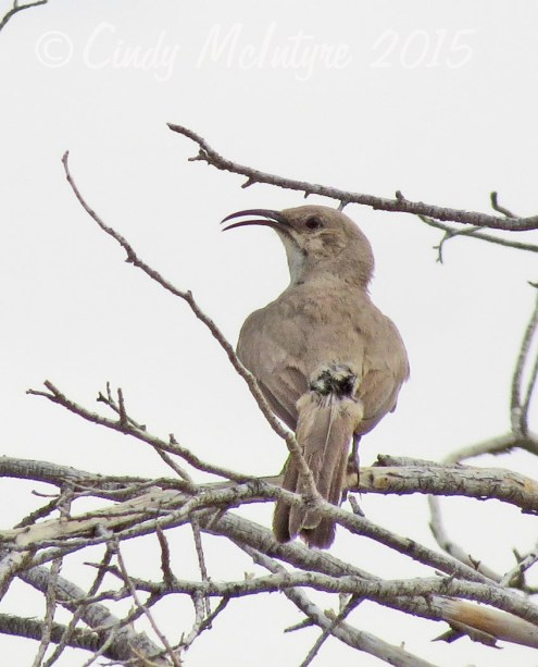 LeConte's thrasher singing